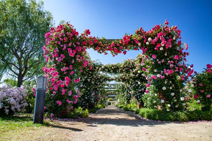 「ピエール・ドゥ・ロンサール」と「ゼフィリーヌ・ドルーアン」が咲き競うパーゴラは圧巻