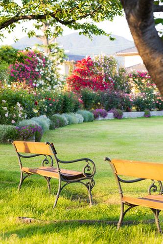 芝生広場の扇仕立てのつるバラもいよいよ見頃です。 ベンチからの眺めも最高。