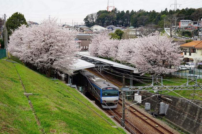 春「ソメイヨシノ」開花時の弥生台駅の様子