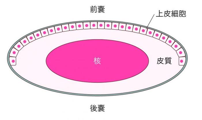 水晶体は嚢と呼ばれるふくろの中に細胞が詰まっており、中心部分を核、その周囲を皮質と呼びます。