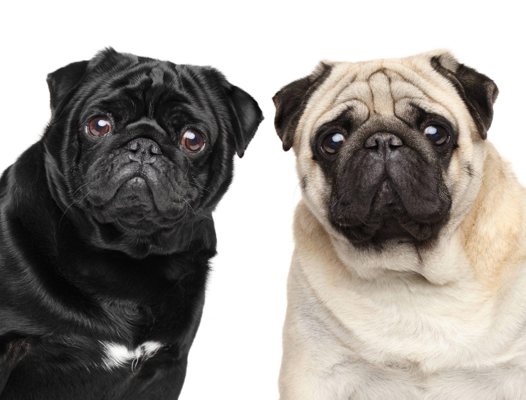 しわのある犬種のお手入れ方法とは?パグやフレンチブルドッグなどを飼っている人必見です! | NEWSCAST