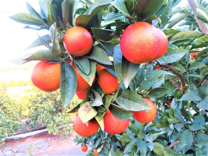 ジャムの開発担当が取材させていただいた愛媛県のブラッドオレンジ畑