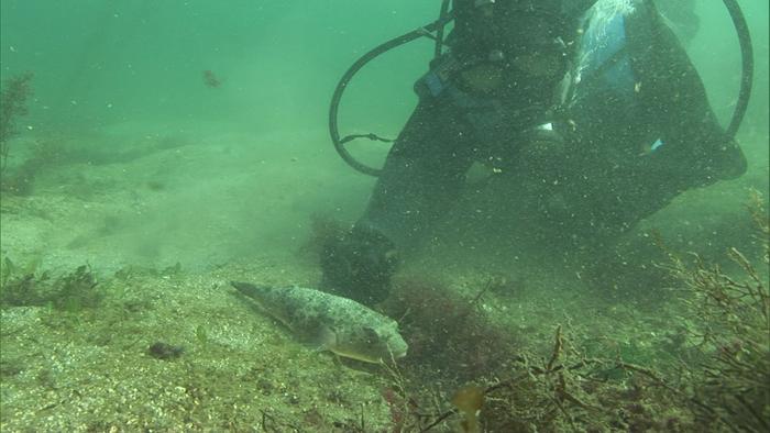 海底で休憩中のフグ
