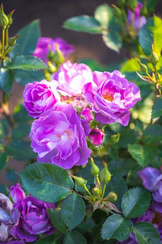 「ブルーフォーユー」  光を浴びて、バラたちの開花が進んでいます。